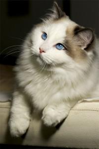 rag-blue-bicolor-RAG-a-03-