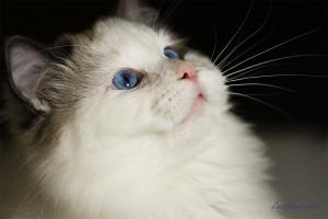 rag-male-blue-bicolor-RAG-a-03