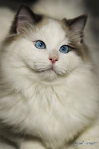 ragdoll-blue-bicolor-10