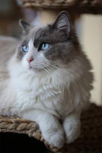 ragdoll-blue-bicolor-a