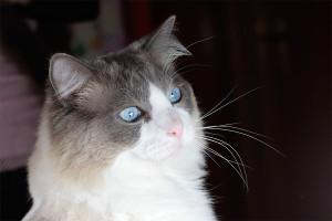 ragdoll-blue-bicolor1