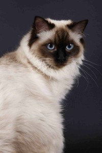 ragdoll-seal-colorpoint-Tropical-