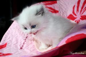 RAG a 03 blue bicolor kitten