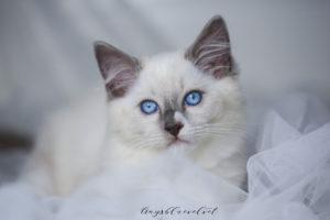 ragdoll blue mitted